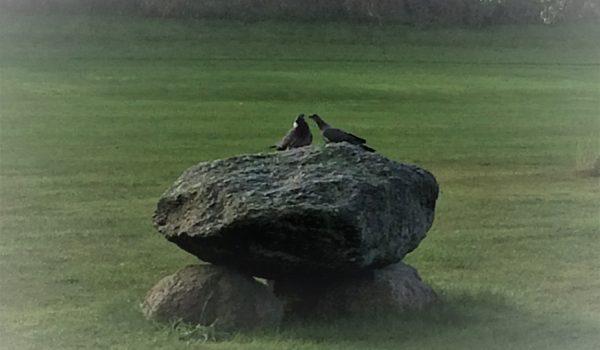 albertslund golfklub_stendysse_duer
